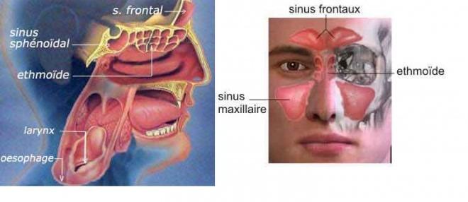 sinus schéma anatomique