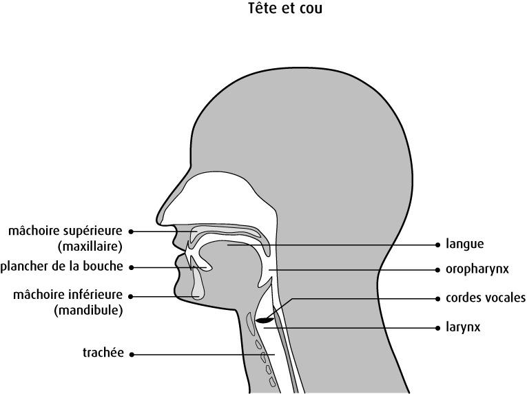 tete Cou schéma anatomique